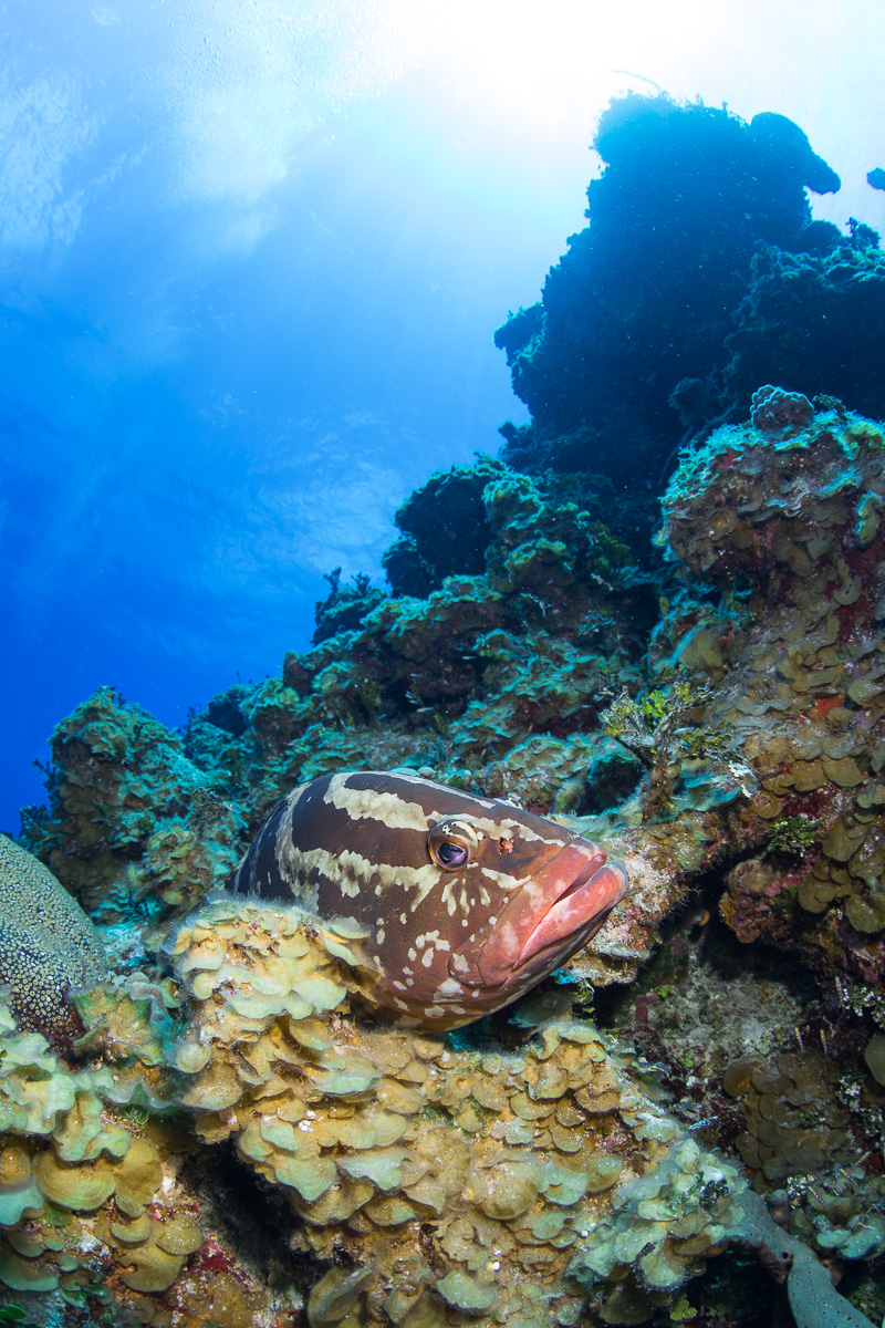 Nassau Grouper on Wall bahamas (c) André Musgrove.jpg