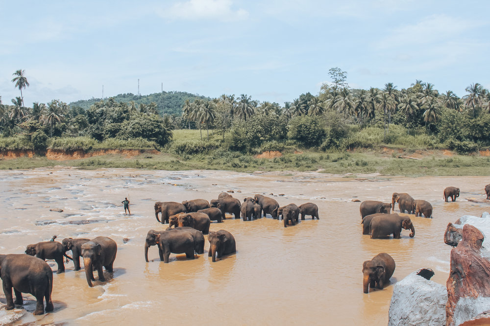 pinnawala - Elephant river bathing