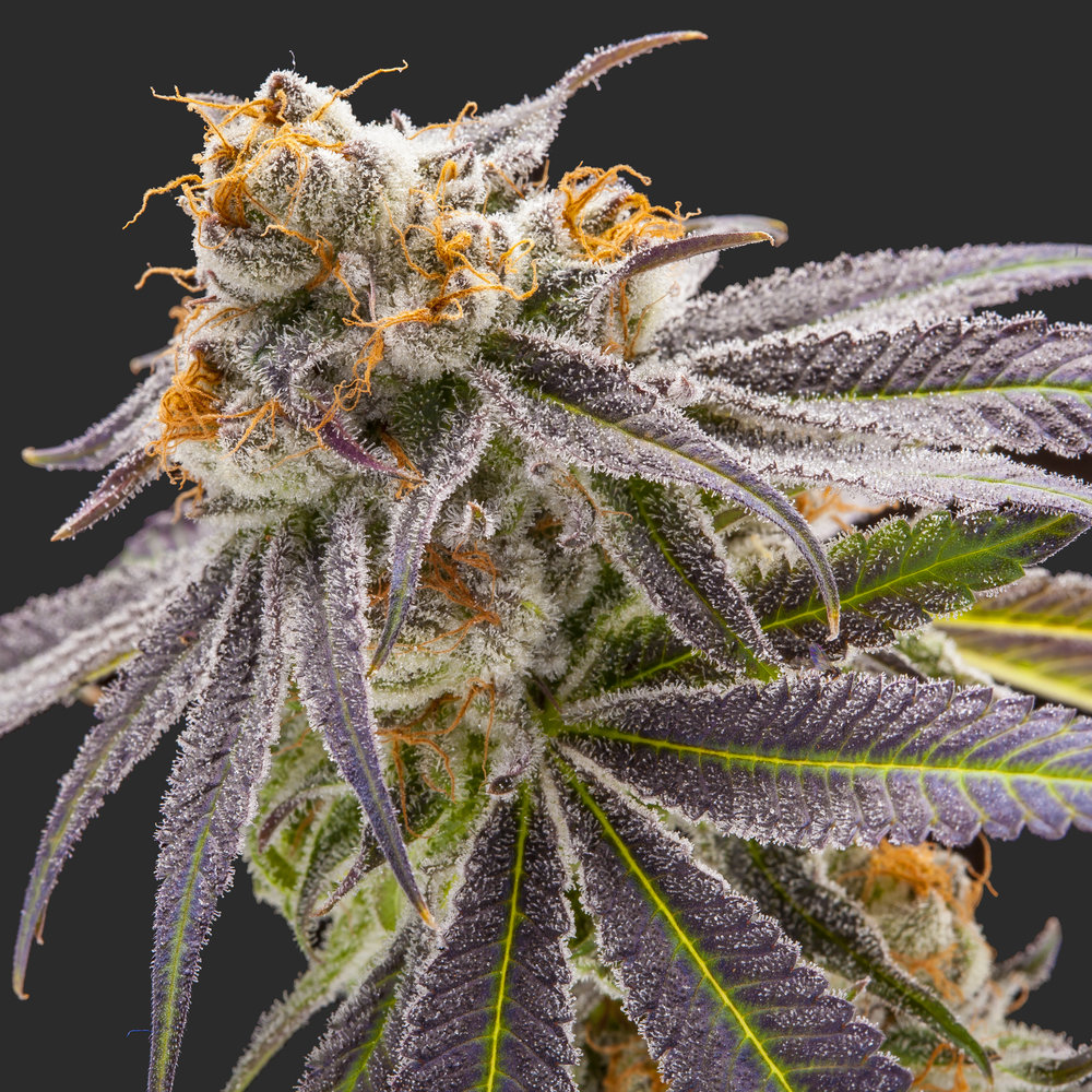 Purple Punch, an indica grown by Pot of Gold.