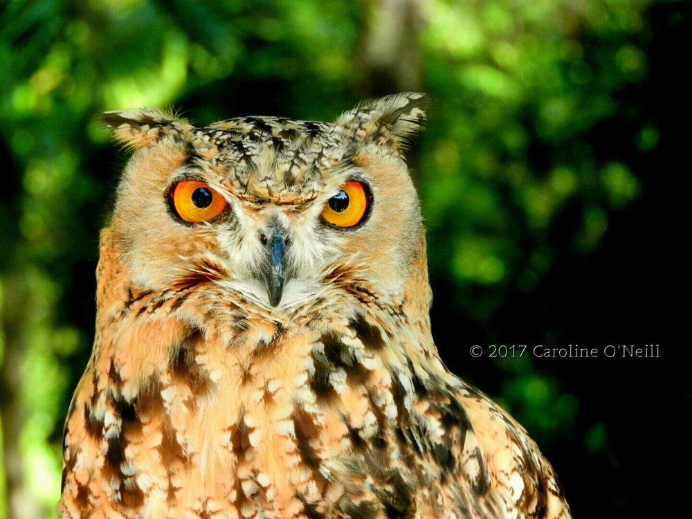 Eagle owl u2014 caroline oneill photography