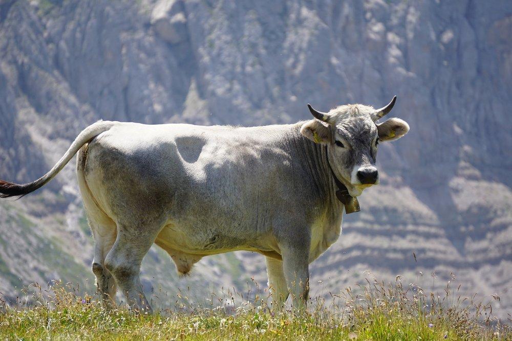 bull-2644808_1920(1).jpg