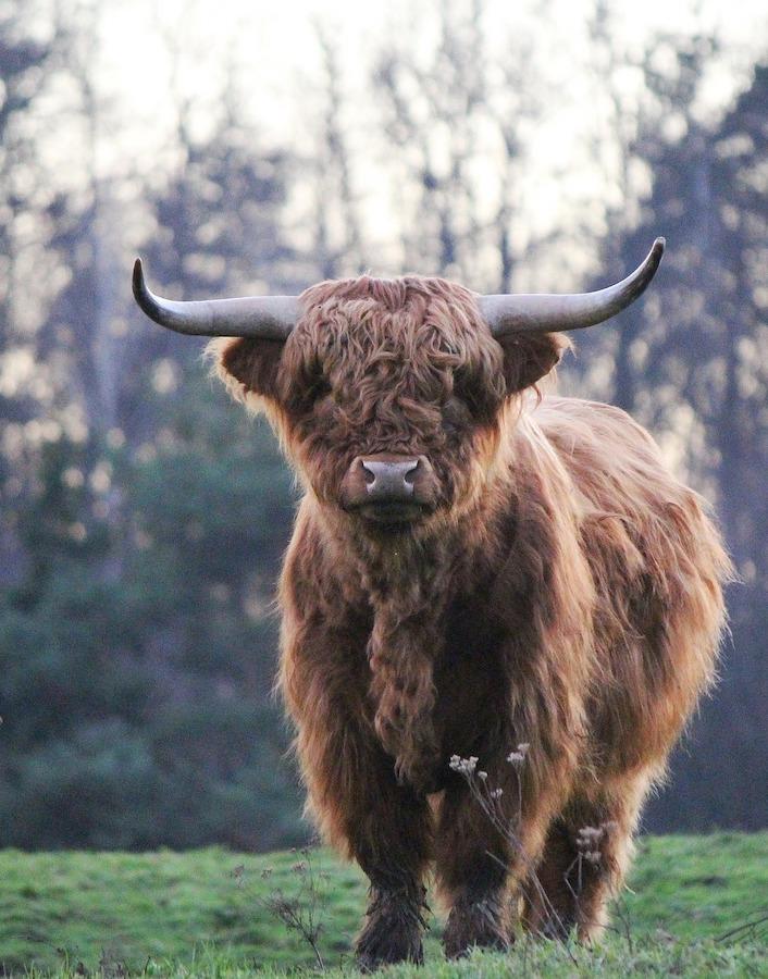 bull-taurus