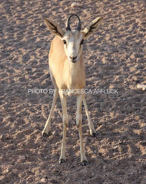 Sand+Gazelle+2.jpg