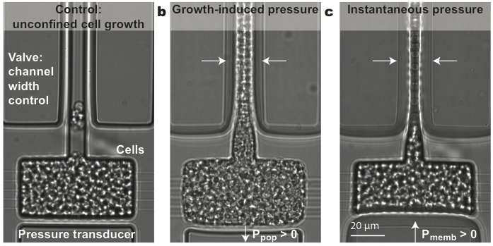 We know quite a bit about how cells sense tensile stresses, but almost nothing about how cells detect and respond to mechanical compressive stress (pressure). All of the cells in our body are under pressure. We should probably figure this out. This paper describes the SMuSh pathway, required for cells to survive when growing under pressure! At the top of the pathway is a mucin. Mucins are frequently misregulated in cancer. We think these sensors will play an important role in the adaptation of cancer to new mechanical conditions.