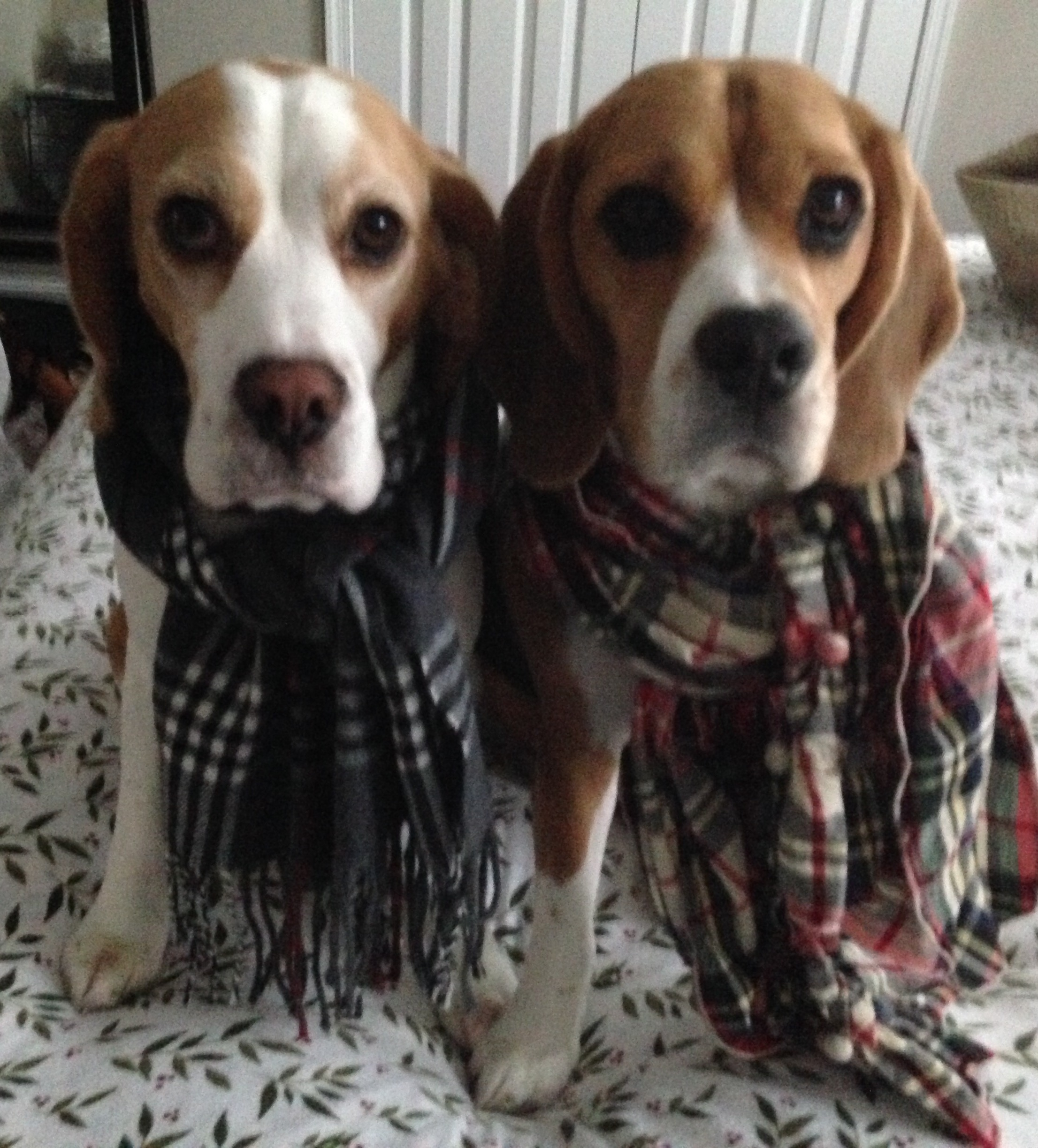 Clark and Kent (@TheSuperBeagles on Insta) getting into the holiday spirit!