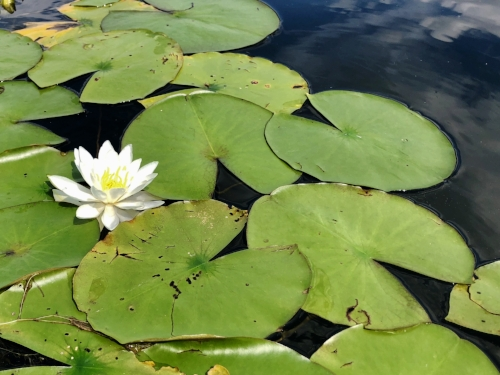White Water-lily, a wildflower of the Adirondacks