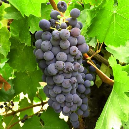 abouriou_grape.jpeg