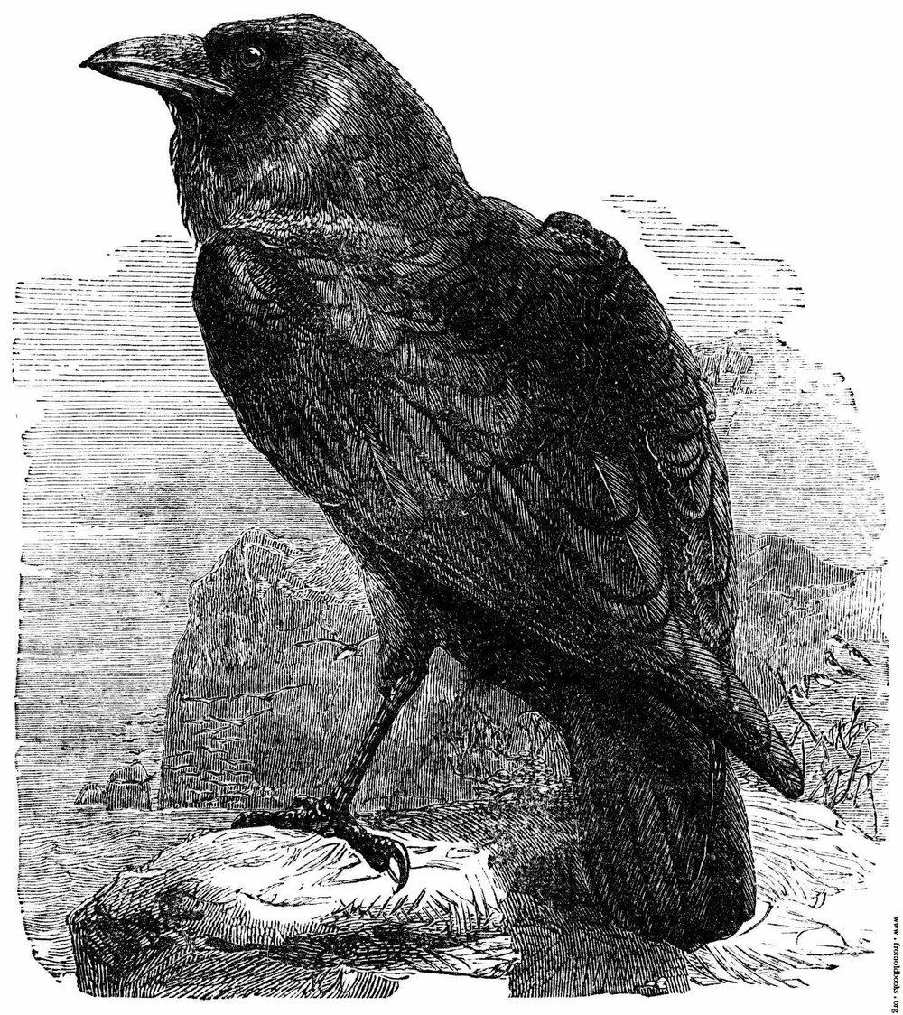 234-The-Raven-Corvus-Corax-q50-1469x1651.jpg