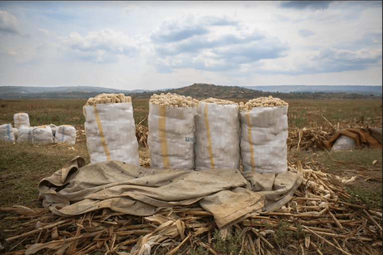 Bags of dried maize ready for collection