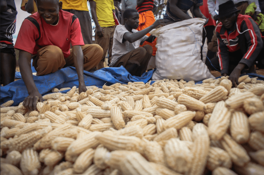 Farmers sorting maize to identify poor quality ones
