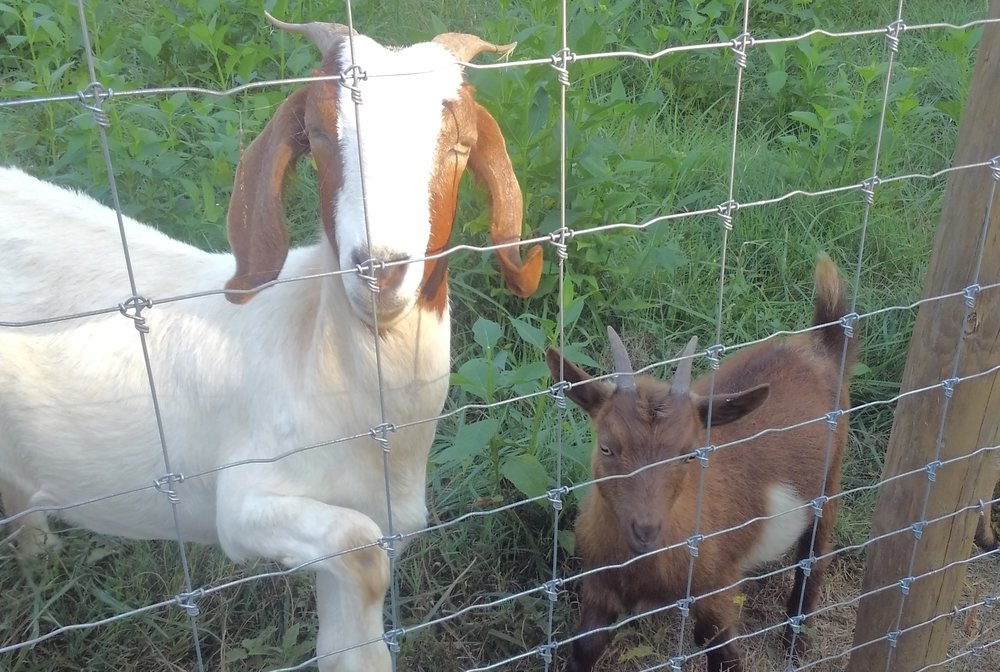 Boer Goats - We raise Boer goats and Pygmy goats here at Old Holler Farm. Our goats are used mainly for reproduction; however, we also consider them an extension of our farm staff because they also help us clean fence lines and control weeds in our pastures...they prefer payment in the form of 'sweet feed'!
