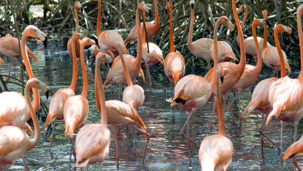 Flamingos in the Mangrove lagoon.