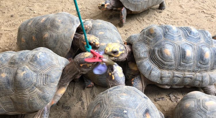 Vivarium del Caribe tortoise2.JPG