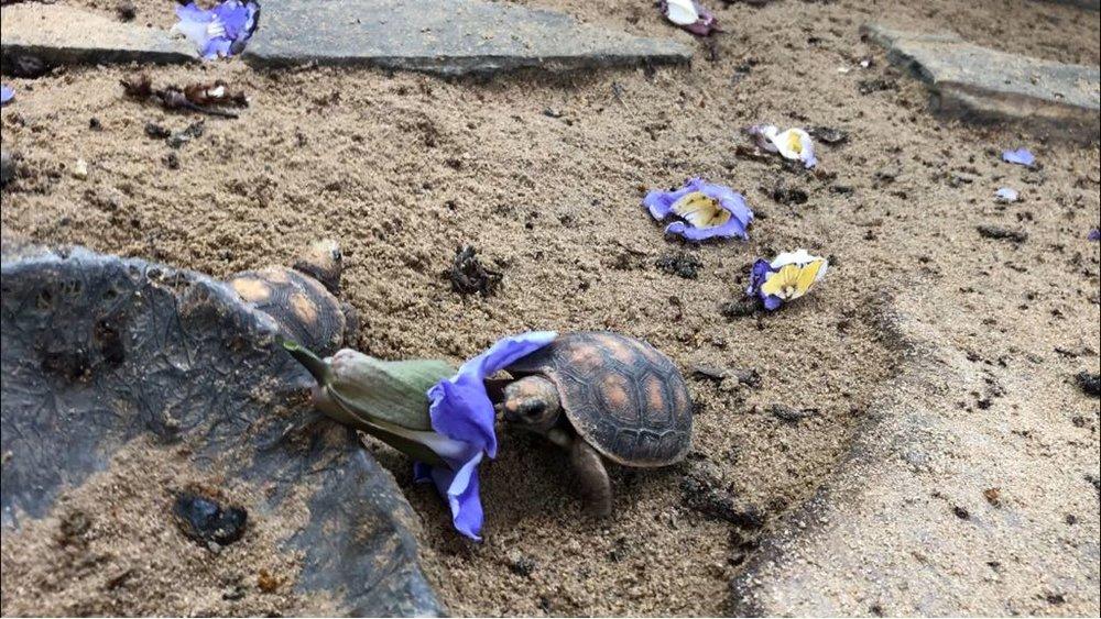 Feeding the baby tortoises
