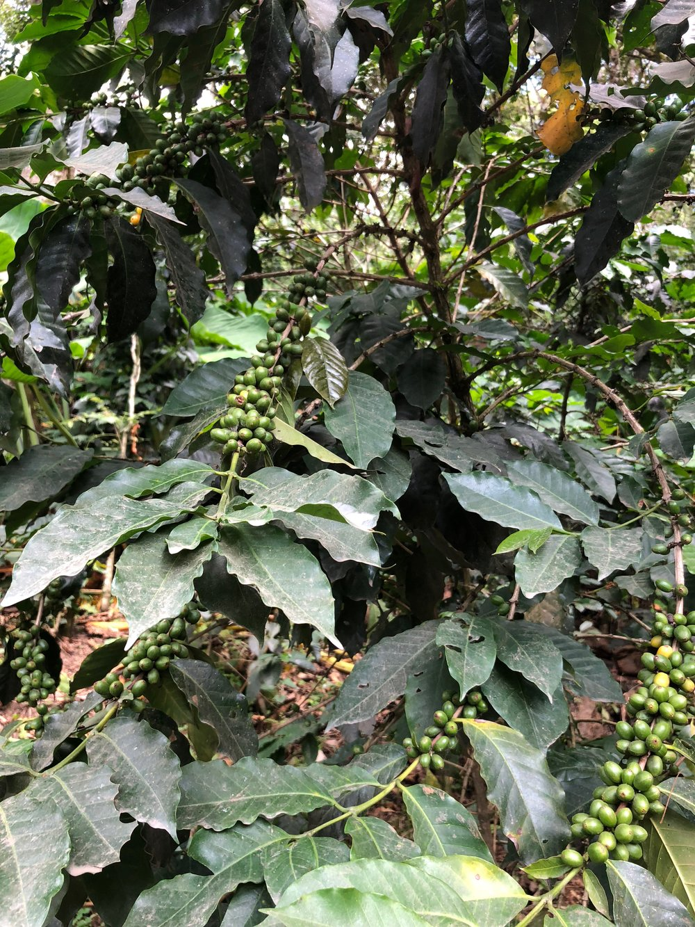 Coffee tree or bush