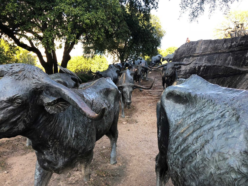 50 long-horned steers traipse down the hill at Pioneer Plaza in Dallas, Texas.