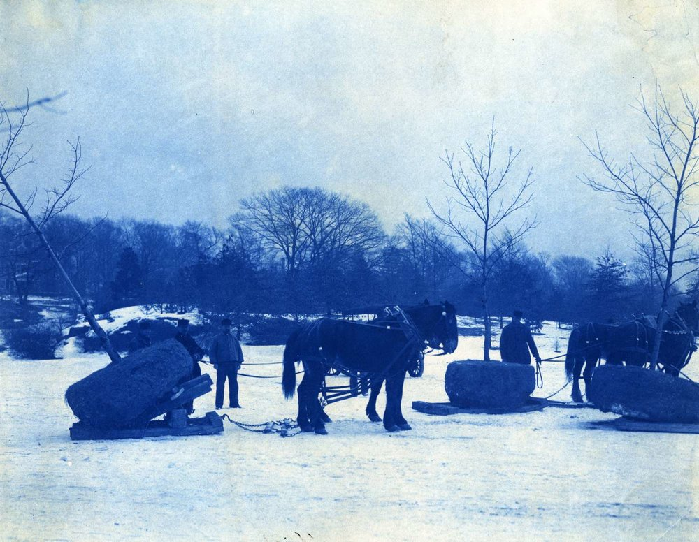 A cyanotype shows draft horses being used to transport trees by sled for planting. Possibly Franklin Park or Arnold Arboretum. Courtesy of Greg French.