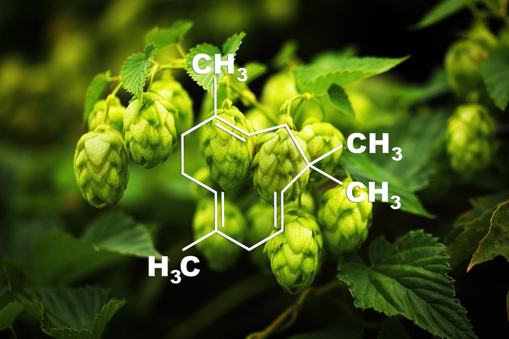 Humulene(aka α-Humulene/α-Caryophyllene) - Potential Medical Benefits: Anti-inflammatoryFlavor Profile: Hops, woodyThis terpene is found in hops, cloves, basil and cannabis sativa.Scientific studies show this terpene may decrease inflammation.Rogerio et al.,2009 | Fernandes et al.,2007