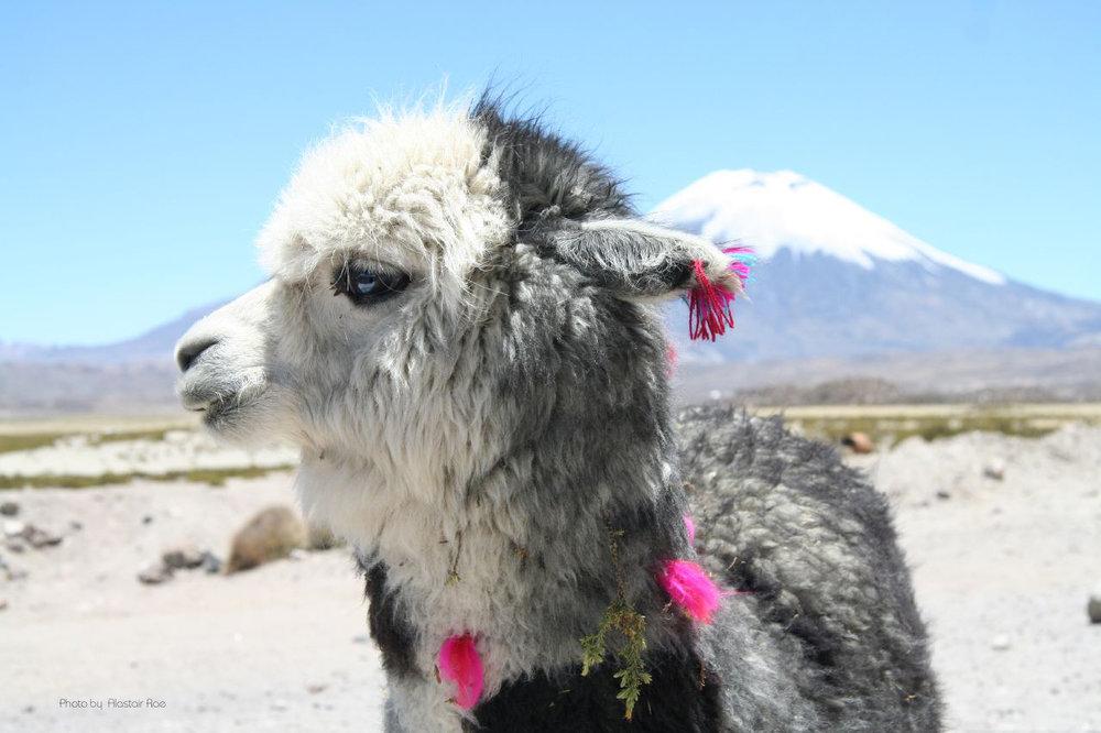 Pet_Alpaca_o.jpg