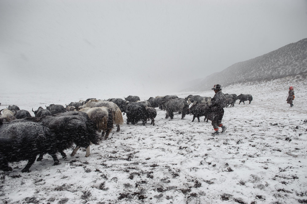 Tan sólo un día más en el Tíbet - La vida en el techo del mundo, donde los pocos nómadas tibetanos que quedan intentan continuar con su forma de vida de la forma en que siempre ha sido.