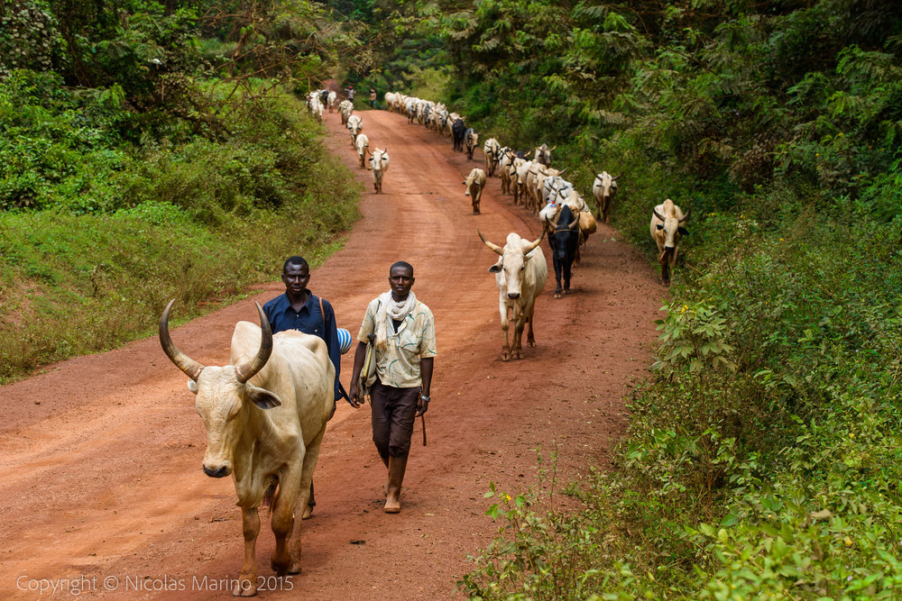 Fulani cattle herders from the Central African Republic, in Cameroon.