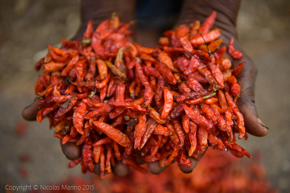 Drying and collecting red peppers. Nigerian countryside