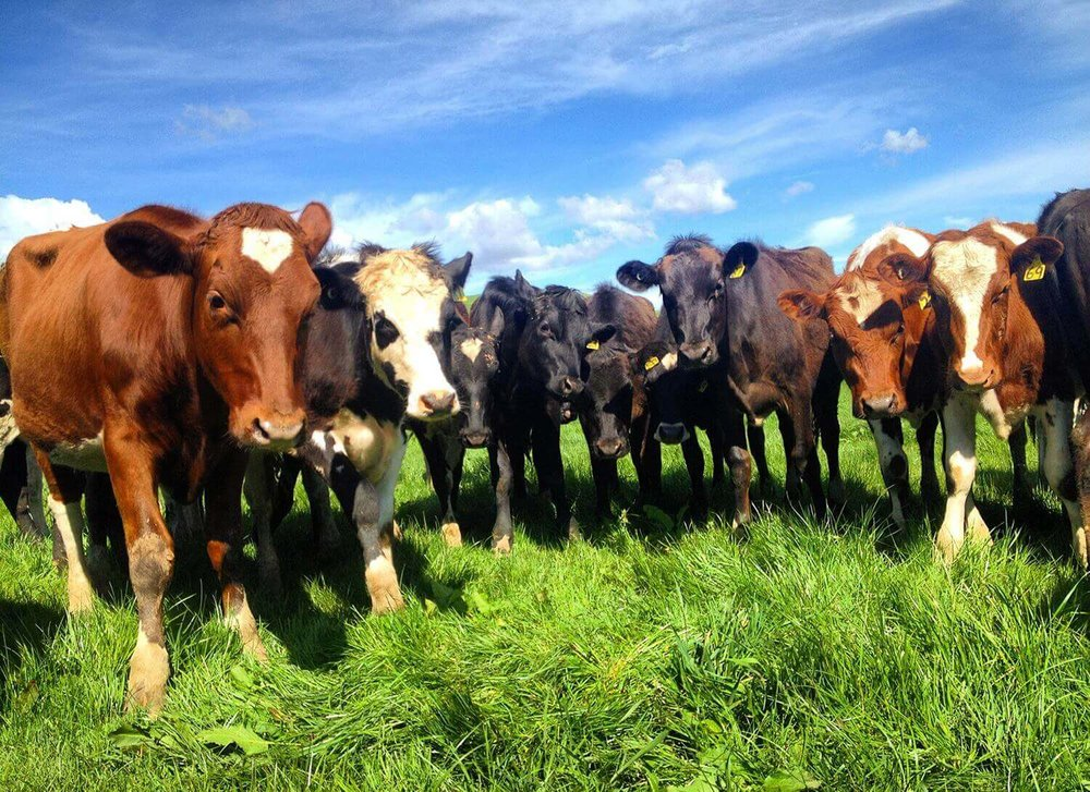 Cows2.jpg