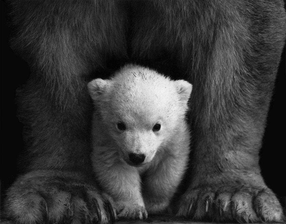 Ein hvítabjørn leggur vanliga ein til tríggjar ungar. Mynd: pexels.com
