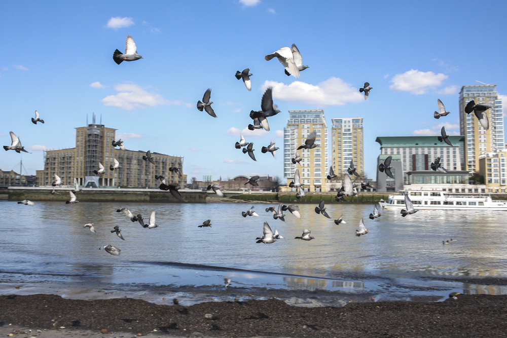 Pigeons by the Thames - refer to films with birds in cities - Mary Poppins, Home Alone 2, etc.