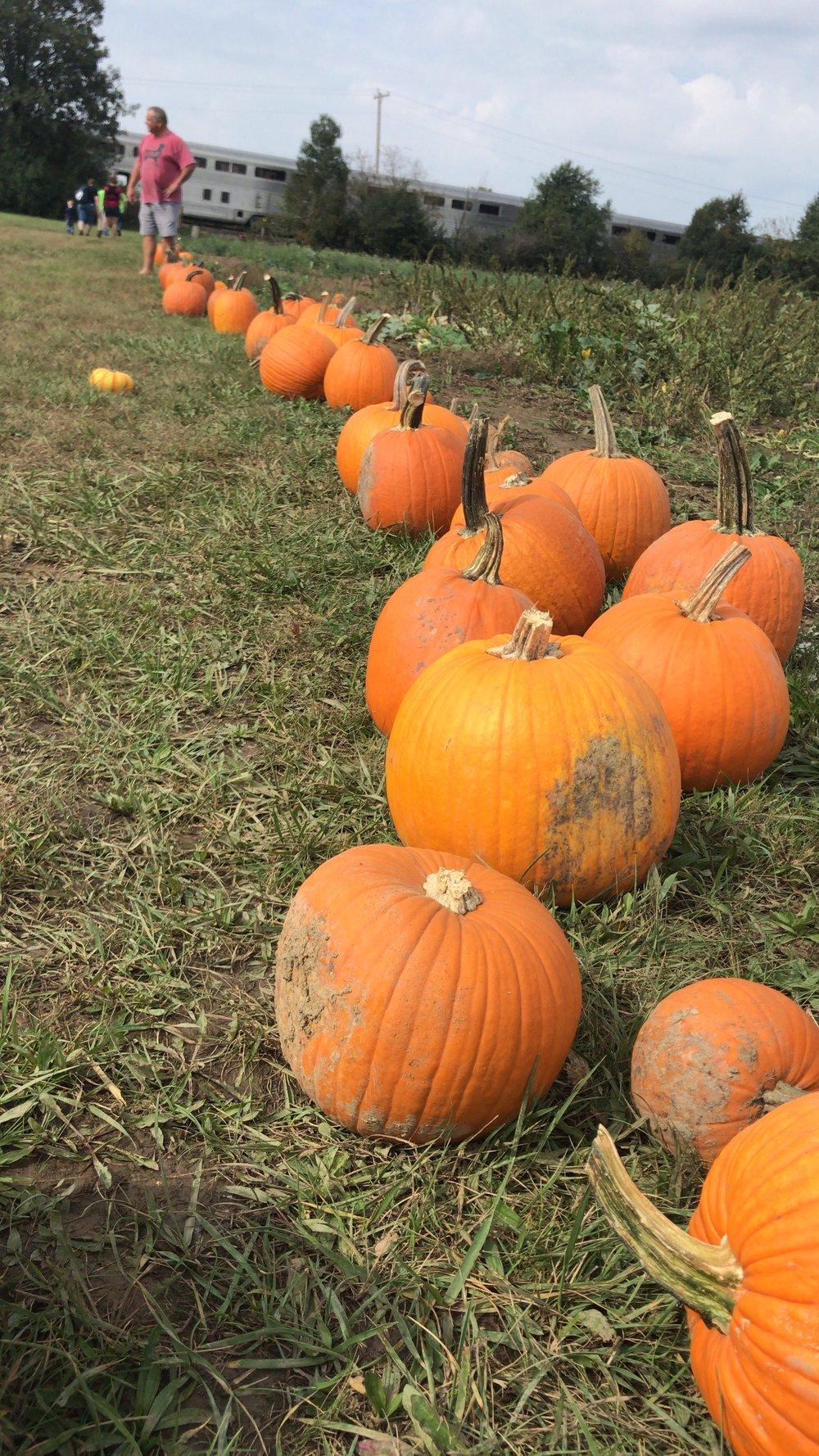Line of Pumpkins.JPG