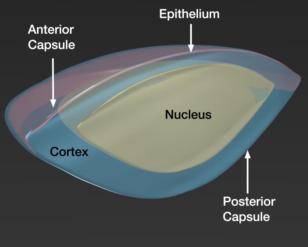 Schematic cut through a human crystalline lens.