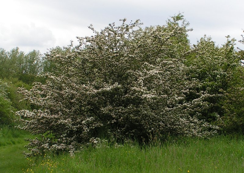 Hawthorn is forgiven its thorns now that the May blossom is out