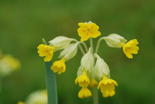 lovely cowslips again this year