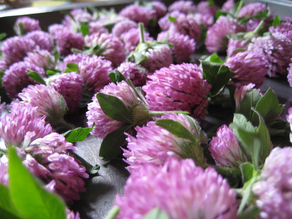 "Sarah Sorci  ""Red clover is an edible flower and gentle tea to support the female reproductive system. Fredonia, NY"""