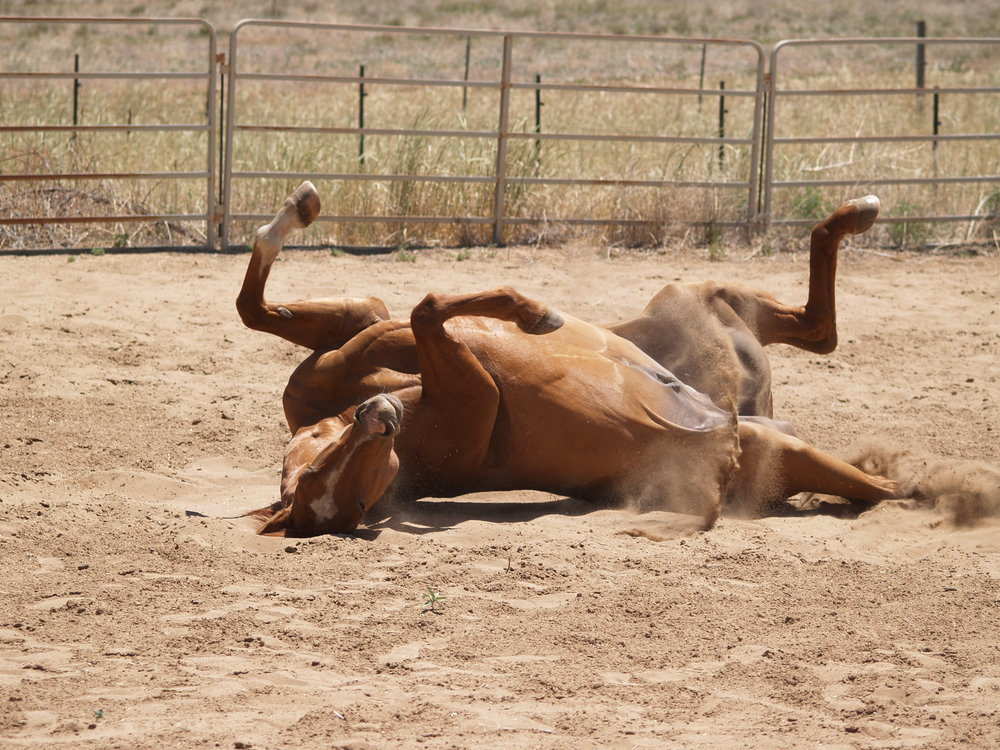 Rolling can be a mundane part of a horse's day, or a sign of a serious GI issue.