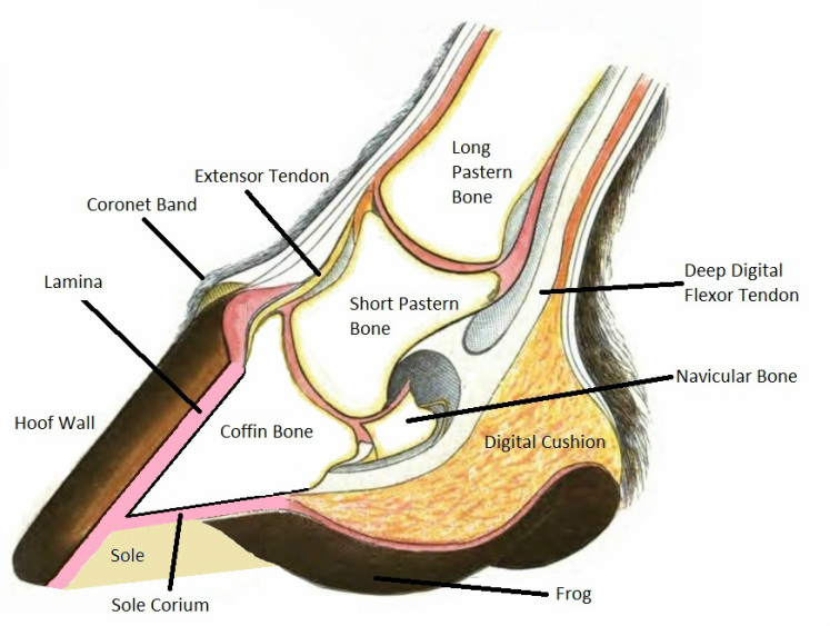 Everything You Need To Know About Laminitis Irongate Equine Clinic