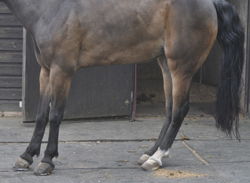 A characteristic stance in a horse with acute laminitis. Photo from Horse and Hound.