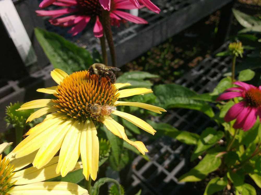 daisy-bee.jpg