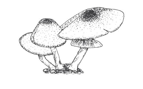 Twig-+-Briar_mushrooms.png