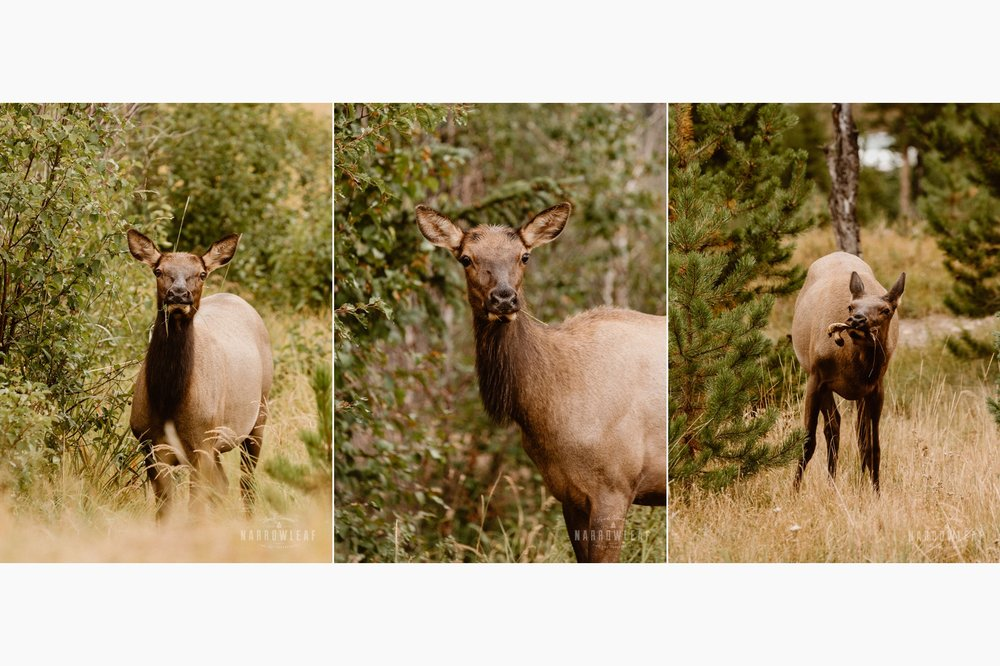 Colorado-elk-eating-narrowleaf-love-and-adventure-photography.jpg