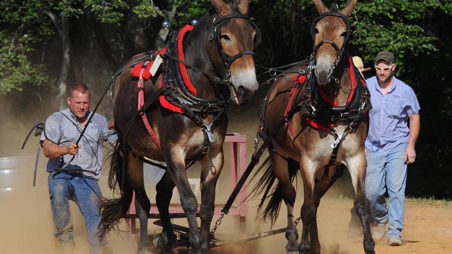 Mule Pulling Contest.jpg