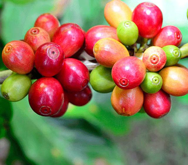 KENYA AA|MERU     KIANGURWE    Bright citrus | Spiced toffee   BAGS: 5 | POS: ANNEX.CA