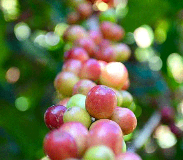 KENYA AA | NYERI PEARLESS    CAFE     Delicate stone fruit | Spicy notes    BAGS: 15 | POS: ANNEX.CA