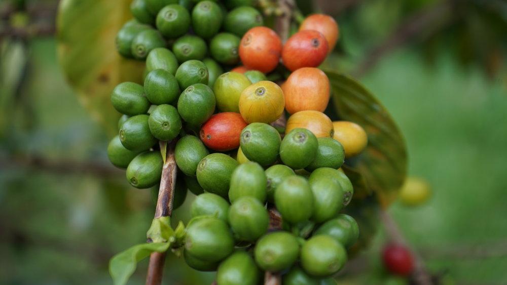 KENYA PB | KIAMBU NDUMBERI     Savory tomato | Winey aftertaste
