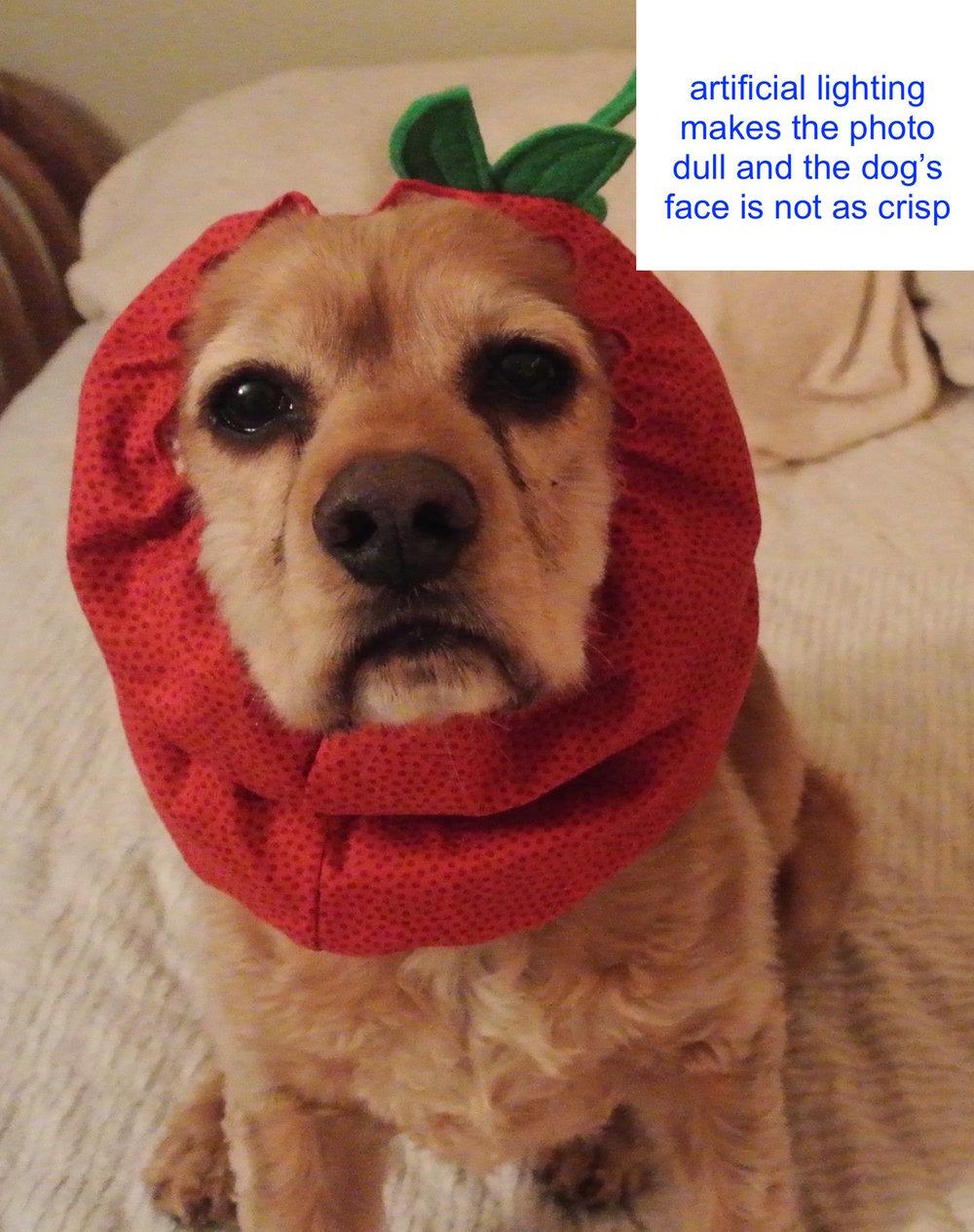 Brady and Owen Apple and Orange dog snoods.jpg