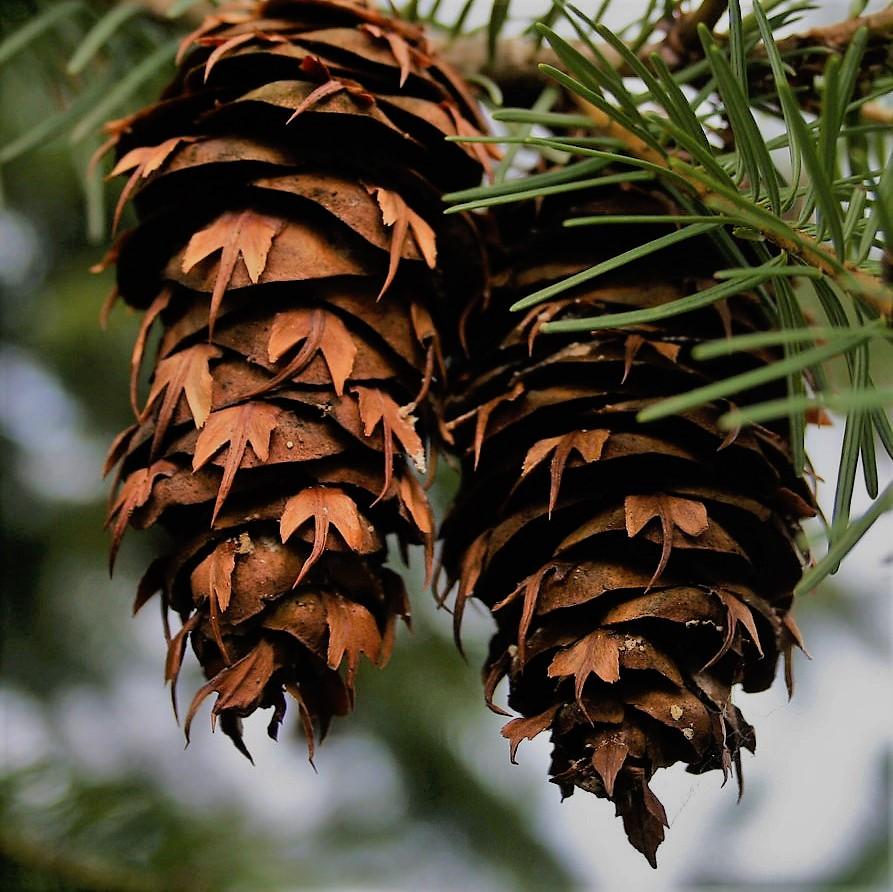 Douglas_fir_pinecones.jpg