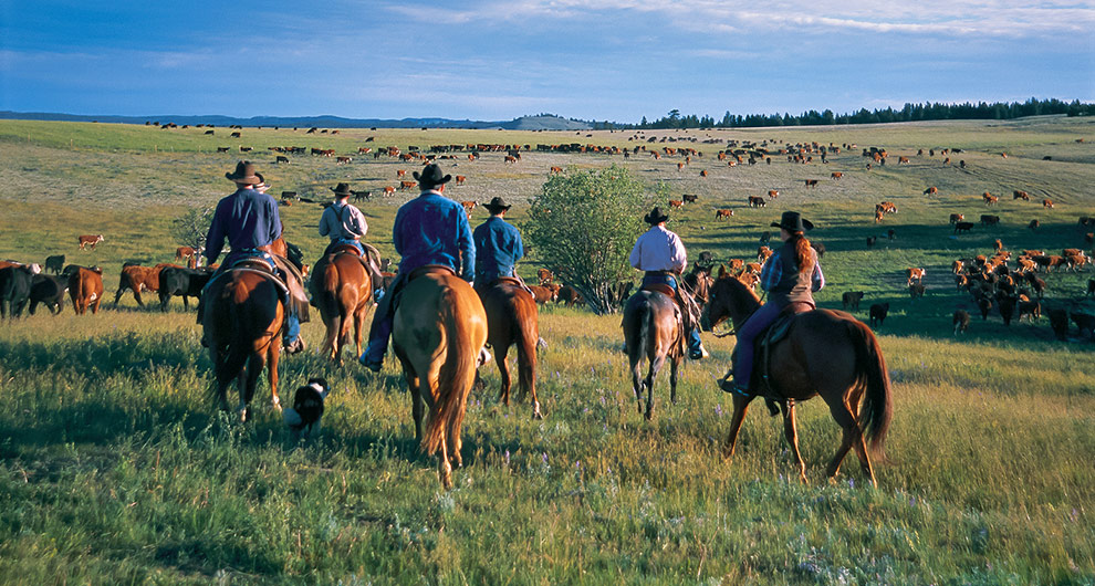 Merritt cattle drive