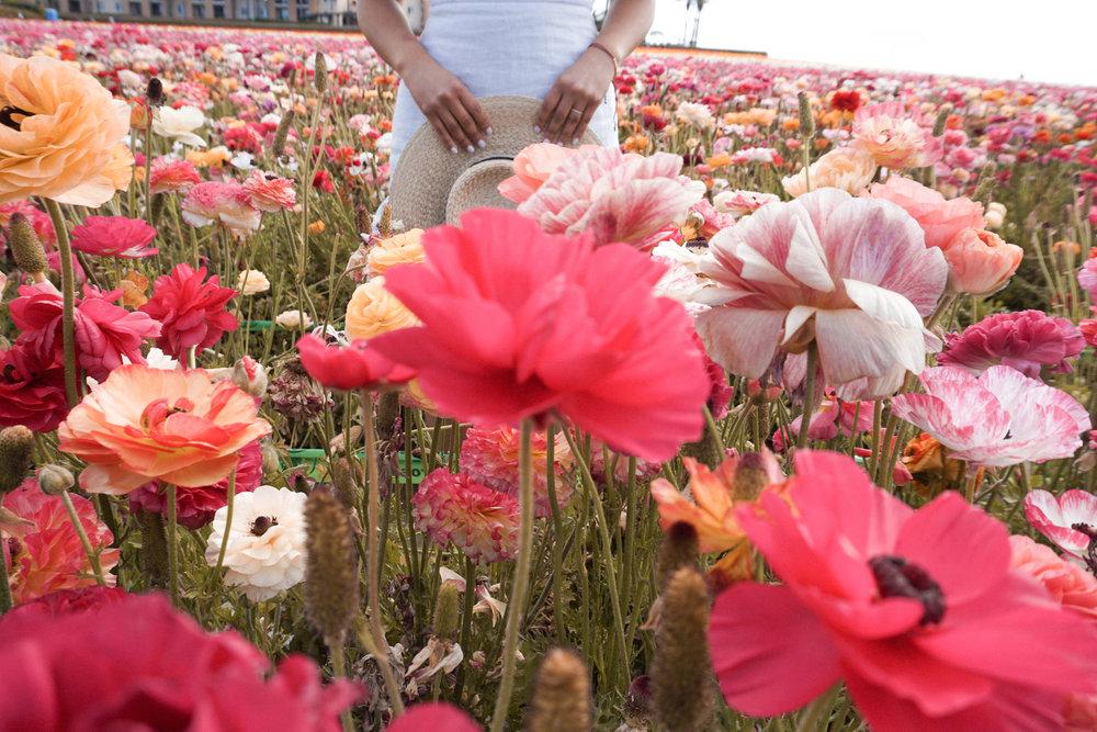 flower fields 5.jpg