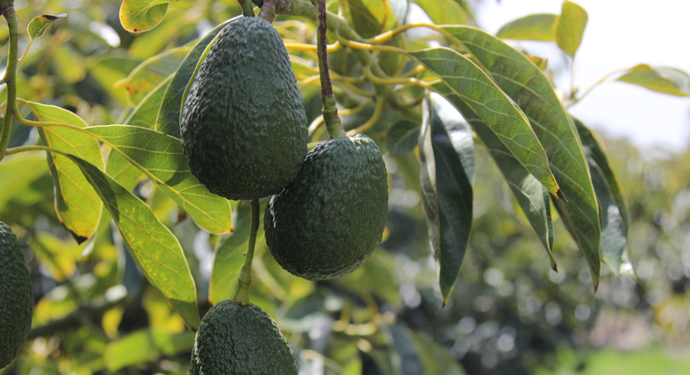 avocados-on-trees-hero_TEMP.jpg