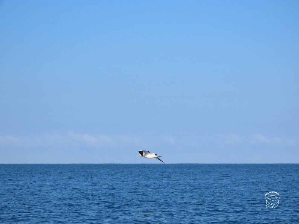 Takapu (Australasian Gannet) from Muriwai wishing it was flying over the world's rarest marine dolphin